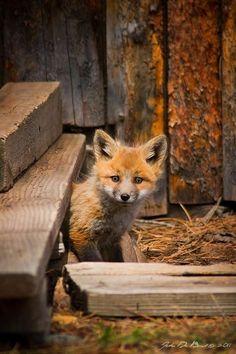 Red Fox Cub by John De Bord - kkart