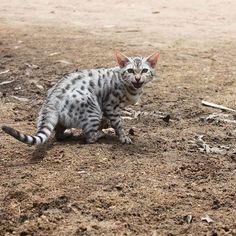 Dont get on my bad side#catoftheday #catofinstagram #cat #cats #catsrule #bengal #bengalcat #bengalcatsofinstagram #cat #cats #whiskas #friskies #feline #kitten #bengalkitten #meow #catsofinstgram #royalcanin #catsdaily #catlover #catlady #catslovers #кот #котэ #безкотаижизньнета #iams