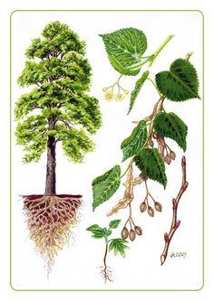 lípa Garden Trees, Trees To Plant, Plant Leaves, Botanical Illustration, Botanical Prints, Tree Leaf Identification, Teaching Plants, Science Illustration, Parts Of A Flower