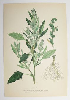 Lambs Quarters Botanical Print 1923 Vintage Green Plant Art Print, Spring Gift Idea for Home, Cottage Garden Plant Pigweed, Mothers Day Gift by OldMapsandPrints on Etsy