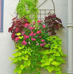 Wall Planter A north-facing wall is softened by this hanging planter of pink impatiens and fuchsias flanked by 'Kingswood Torch' coleus. Asarina (climbing snapdragon) adds height, while 'Margarita' sweet potato vines trail gracefully over the side. Photo by: Janet Loughrey. Design by: Lucy Hardiman.