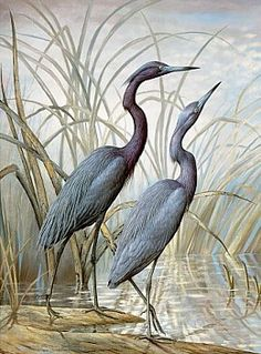 The Patrician Gallery | Little Blue Herons