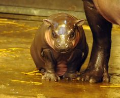 A Pygmy Hippo has been born at Bristol Zoo Gardens in England! The calf, named Winnie, was born in early February to mom Sirana and father Nato, and lives with them on exhibit at the zoo.  See and read more: http://www.zooborns.com/zooborns/2014/03/pygmy-hippo-bristol.html