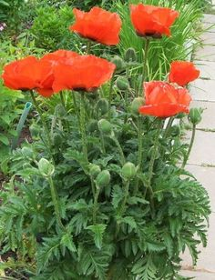 részleges Papaver Orientale, Exotic Flowers, Flower Patterns, Home And Garden, Gardening, Vegetables, Creative, Design, Living Room Ideas