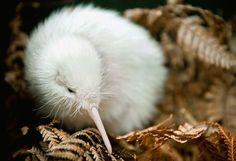 Close up photograph; Kiwi. Caption; 1.7.11, WELLINGTON, NEW ZEALAND, Pukaha, Mt Bruce, National Wildlife Centre. This rear albino Kiwi is called Manukura and was born in captivity at the National Wildlife Centre. Manukura means a person held in high esteem, a council leader or leader. COPYRIGHT ©