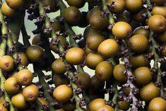Natureza, Perfeição sem tamanho...: Buriti(Mauritia flexuosa) O buriti é o fruto doB...