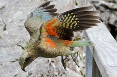 zooophagous:  parrotchatter:  Don't be fooled; Keas are anything...