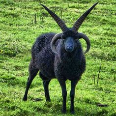 One of the few breeds of sheep that possess four horns. Farm Animals, Cute Animals, Badass Pictures, Black Phillip, Sheep Breeds, Religion, Arte Horror, Creature Design, Satan