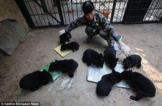 La policía de carreteras de China detuvo en un control rutinario a un hombre que trasladaba 22 pequeños osos en su vehículo. El hombre, que luego acabó por confesar que se dedicaba al tráfico de estos animales, intentó engañar a los agentes haciéndoles creer que los animales no eran osos, sino perros de fino pedigree.