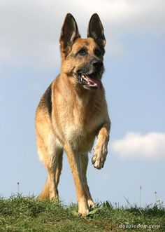 #German #Shepherd Hello! They call me handsome ! www.howtopotty-trainadog.com