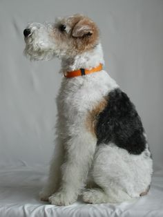 Tri-color Wire Hair Fox Terrier. My favoritest dog of all dogses in the worlds.
