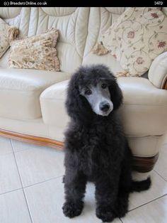 Silver Standard Poodles for Sale | BreedersOnline.co.uk - Puppies For Sale