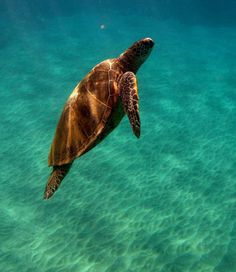 turtle in the deep blue