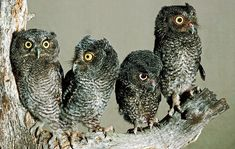 Adding an owl nest box to your backyard will attract screech owls. These nocturnal birds can drive down rodent and vermin populations — not to mention they're fascinating to watch and listen to. Owl Nest Box, Owl Box, Beautiful Creatures, Nocturnal Birds, Screech Owl, Owl Pictures, Beautiful Owl, How To Attract Birds, Owl House