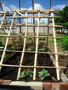 Melon trellis: When the melons start to grow, they will hang down from the trellis and will be supported by making a sling with pantyhose and tying it to the bamboo.