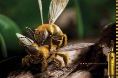 Cliente:B - Honey Cachaça Sting Shots  Agência:Pereira Odell  Criação:Paulo Coelho e Arício Fortes  Fotografia, Concept Art, CGI e Photo-retouching:Seagulls Fly
