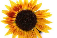 Sunflower Nature Greeting Card Flower Card by EchidnaArtandCards, $5.00