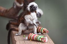 A Cotton-Top Tamarin inspects a Christmas cracker as they discover some gift-wrapped food treats and other tasty decorations in their exhibit at Taronga Zoo, in Sydney recently. Animals at the zoo were quick to pounce on the festive-themed enrichment items prepared by keepers, showing off their natural foraging skills to uncover the food inside while some seemed just as happy playing with the cardboard box packaging.
