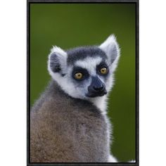 East Urban Home 'Ring-Tailed Lemur Portrait in the Andringitra Mountains, Vulnerable, South Central Madagascar' Photographic Print Size: