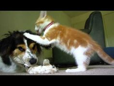 Playful kitten tries to get sweet, patient dog's attention (VIDEO) » DogHeirs | Where Dogs Are Family « Keywords: kitten, chew, bone