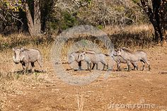 Warthogs family led by mother alert for danger for her four young offspring near waterhole getting a morning drink. Animal wildlife game reserve park in Zululand South-Africa . Images Of Colours, Game Reserve, South Africa, Moose Art, Places To Visit, Wildlife, Stock Photos, Led, Drink