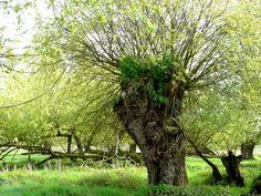 Le saule têtard, plaidoyer pour un arbre - production de bois de chauffage ou de bois pour usage à la ferme (piquet de clôture, manche à outils), vannerie, ombrage pour les animaux, abris pour oiseaux et mammifères...