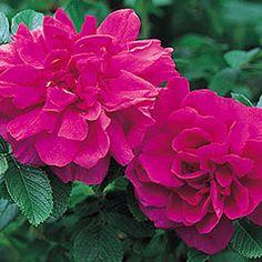Hansa - David Austin Roses