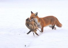 Fox and Pheasant by mikasuncle on Flickr