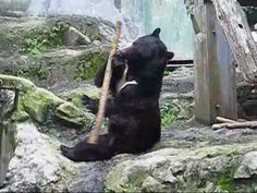 Kung Fu Bear by alexbuzzkentaroguy: Claude is an asian black bear at Asa Zoo, Hiroshima.   #Kung_Fu_Bear #Hiroshima #Japan #alexbuzzkentaroguy