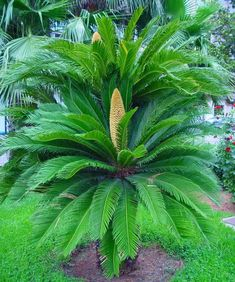 The Sago Palm is the most propagated and sold cycad in the world. It is seen in . The Sago Palm is Tropical Landscaping, Landscaping Plants, Tropical Garden, Tropical Plants, Palm Tree Flowers, Fruit Flowers, Palm Plant, Fern Plant, Love Garden