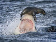 Flagra de David Jenkins mostra foca sobre o focinho do tubarão (Foto: David Jenkins/Caters)