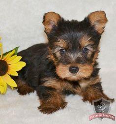 Yorkshire Terrier puppy - Harley