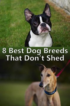 There are some breeds that shed only very little hair and may therefore be better suited to allergy sufferers people. Here a list of the most popular low shedding dog breeds. Rare Dog Breeds, Pet Breeds, Best Dog Breeds, Best Dogs, Low Shedding Dog Breeds, Non Shedding Dogs Medium, Low Maintenance Dog Breeds, Dog Breeds That Dont Shed, Hypoallergenic Dog Breed