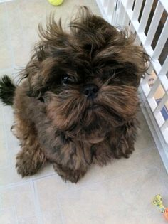 OMGOSH! Cutest little shih-tzu! Haven't seen one with his coat coloring. He looks like an ewok. =)