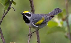 This is a golden-winged warbler.  We spotted it at Eagle Creek Park in Indianapolis, In on Thursday September 15th.  It was gorgeous!
