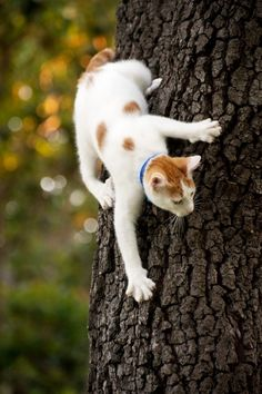 it is easier to go up.   An ounce of Turkish Van insanity goes a long way...they are TOO MUCH FUN.