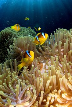 Clown Fish (amphiprion Bicinctus) in St. John's Reef, Red Sea