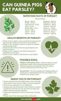 Guinea Pig Food, Pet Guinea Pigs, Guinea Pig Care, Pig Facts, Food Facts, Mint Benefits, Pigs Eating, Mint Plants, Little Pets