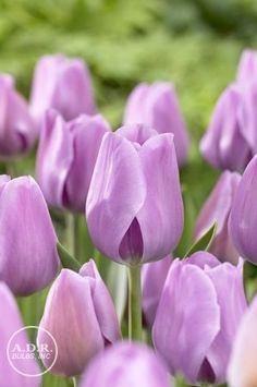 Tulipa triumph 'Alibi' Tulip