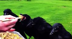 "My heart is bursting | Rescued Baby Crows Return Each Spring To Say ""Hello"""