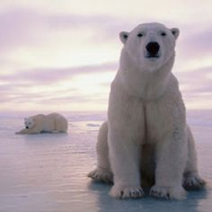 Polar Bear :) I have this crazy little thing called the love of ice. Humans please make sure we have a future. can i just meet these beautiful creatures?!