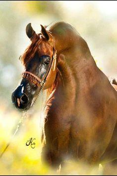 ~Straight Egyptian Arabian Horses