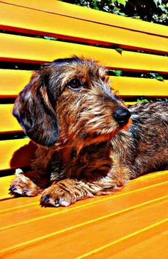 WIREHAIRED DACHSHUND. Dachshund smooth, wirehaired and longhaired dog art portraits, photographs, information and just plain fun. Also see how artist Kline draws his dog art from only words at drawDOGS.com #drawDOGS