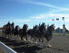 The World-Famous Budweiser Clydesdales at Keeneland