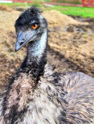 Whether you want to raise emus as livestock or pets, keep these care guidelines in mind to ensure you raise a happy, healthy ratite.