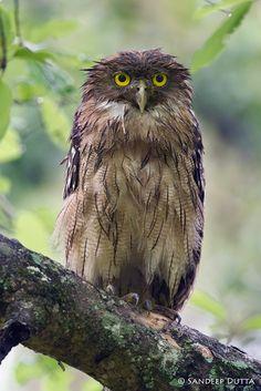Brown Fish Owl -
