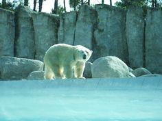 Ours blanc du zoo de La Palmyre | Pays Royannais Charente-Maritime Tourisme #charentemaritime | #zoo | #LaPalmyre | #animaux