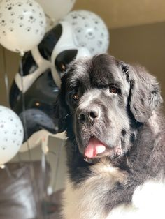 Happy First Gotcha Day Odin! Celebrating Odin's first gotcha day with us - My Brown Newfies #adopteddog #newfoundlanddog #newfie #landseer Gotcha Day, Brown, Happy, Brown Colors, Chocolates, Brow, Being Happy