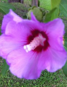 violet bush flower