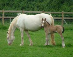 cream dilution gene horses - Google Search